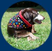 Labrador Retrierer wearing X/L dog bandana